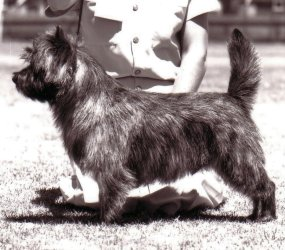 Joymont Cairn Terriers - Victoria Australia